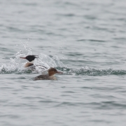 1_Red-Breasted-Mergansers-9650