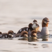 Common Merganser & Chicks_54A3076