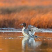 Northern Pintail_54A3134