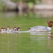 Common-Mergansers-4488