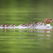 Common-Mergansers-4519