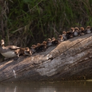 Hooded Merganser & Chicks-10