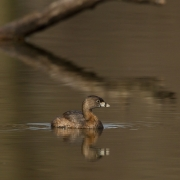 Pie Billed Grebe-11