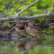 Wood Ducks-14