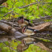 Wood Ducks-15