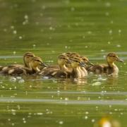 Mallard Chicks-18