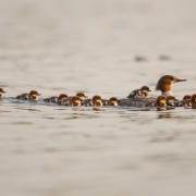 Common Merganser & Chicks-2