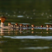 Common Merganser & Chicks-3