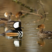Hooded Mergansers-5