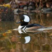 Hooded Merganser-6