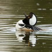 Hooded Merganser-7