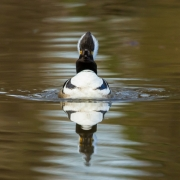 Hooded Merganser-8