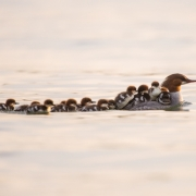 Common Merganser & Chicks 1