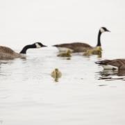 Goose Family 2160