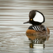 Hooded Merganser_2532