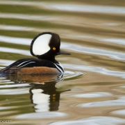 Hooded Merganser_9529
