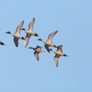 Northern-Pintails-9224