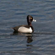 Ring-Necked-Duck-6969-1
