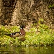 Wood Duck 2478