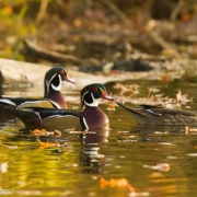 Wood Ducks 3565