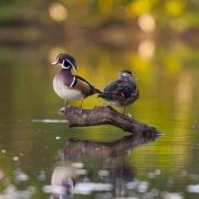 Wood Ducks 9607