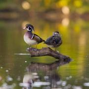 Wood Ducks 9607