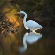 Great Egret_54A2169