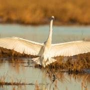 Great Egret, Chincoteague, VA_54A2652