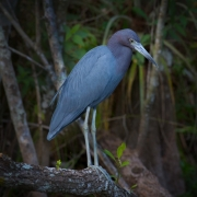Little Blue Heron 5841