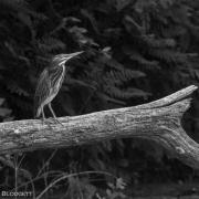 Green Heron_54A6010