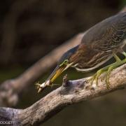 Green Heron_54A8944