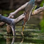 Green Heron_54A8990