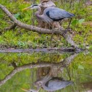 Great Blue Heron 1652