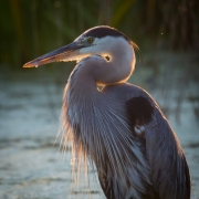 Great Blue Heron 6252