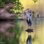 Great Blue Heron 9040