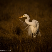 Great Egret 3886