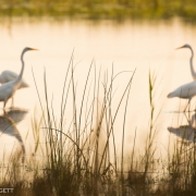 Great Egrets 0447