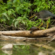 Great Heron & Turtle-10
