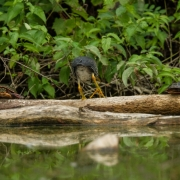 Green Heron & Turtle-11