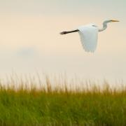 Great Egret Cape Cod-24