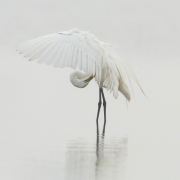 Great Egret-27