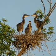 Great Blue Heron Clutch-5