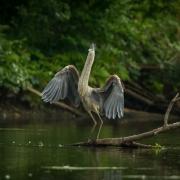 Great Blue Heron-9