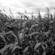 Windy Corn Field