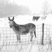 Donkey in Winter