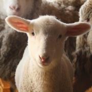 Lamb,-Gallatin,-NY-IMG_2454