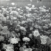 Queen Annes Lace, Pine Plains, NY