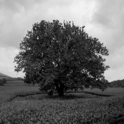 Sycamore-Tree-in-B&W