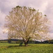 Sycamore Tree in Spring