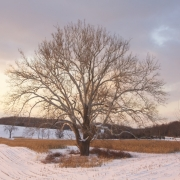 Sycamore in Winter IMG_1161